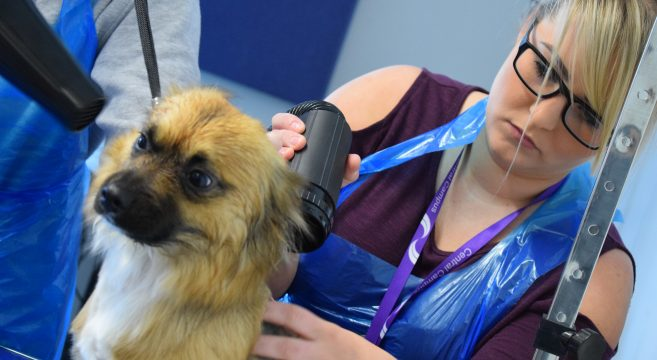 Female dog grooming student blow drying the hair of a dog