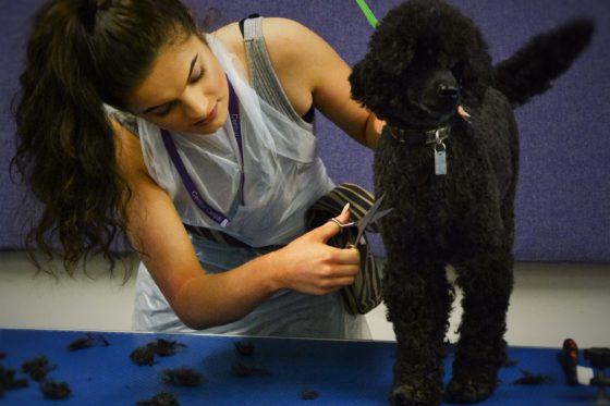 Female student snipping black poodle's coat